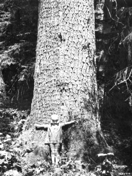 &#34;White pine 5 ft. diameter breast high on  Clearwater Timber Company's holdings.&#34;<br&gt;794
