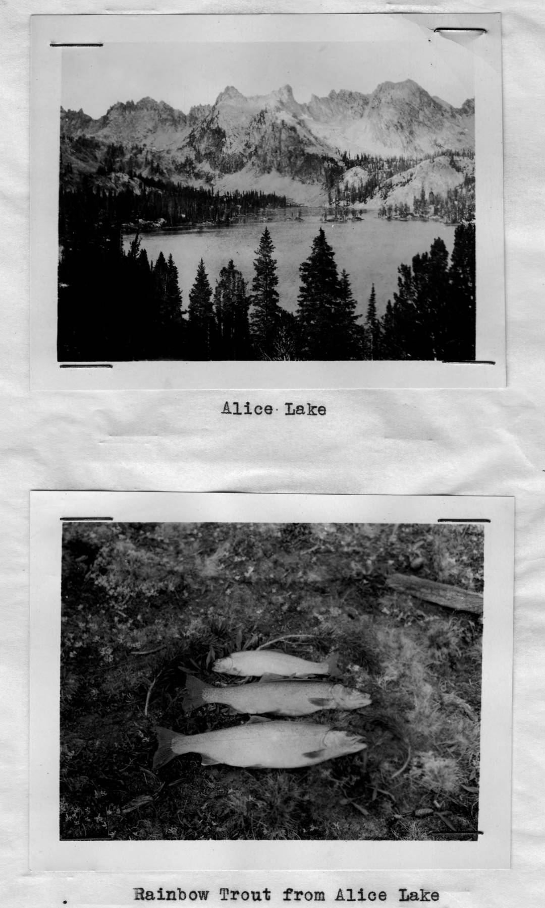 item thumbnail for Rainbow Trout from Alice Lake