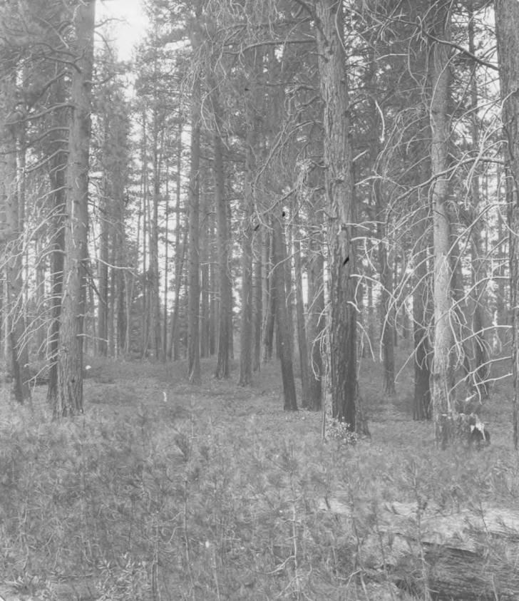 item thumbnail for Bull pine at Fall Creek