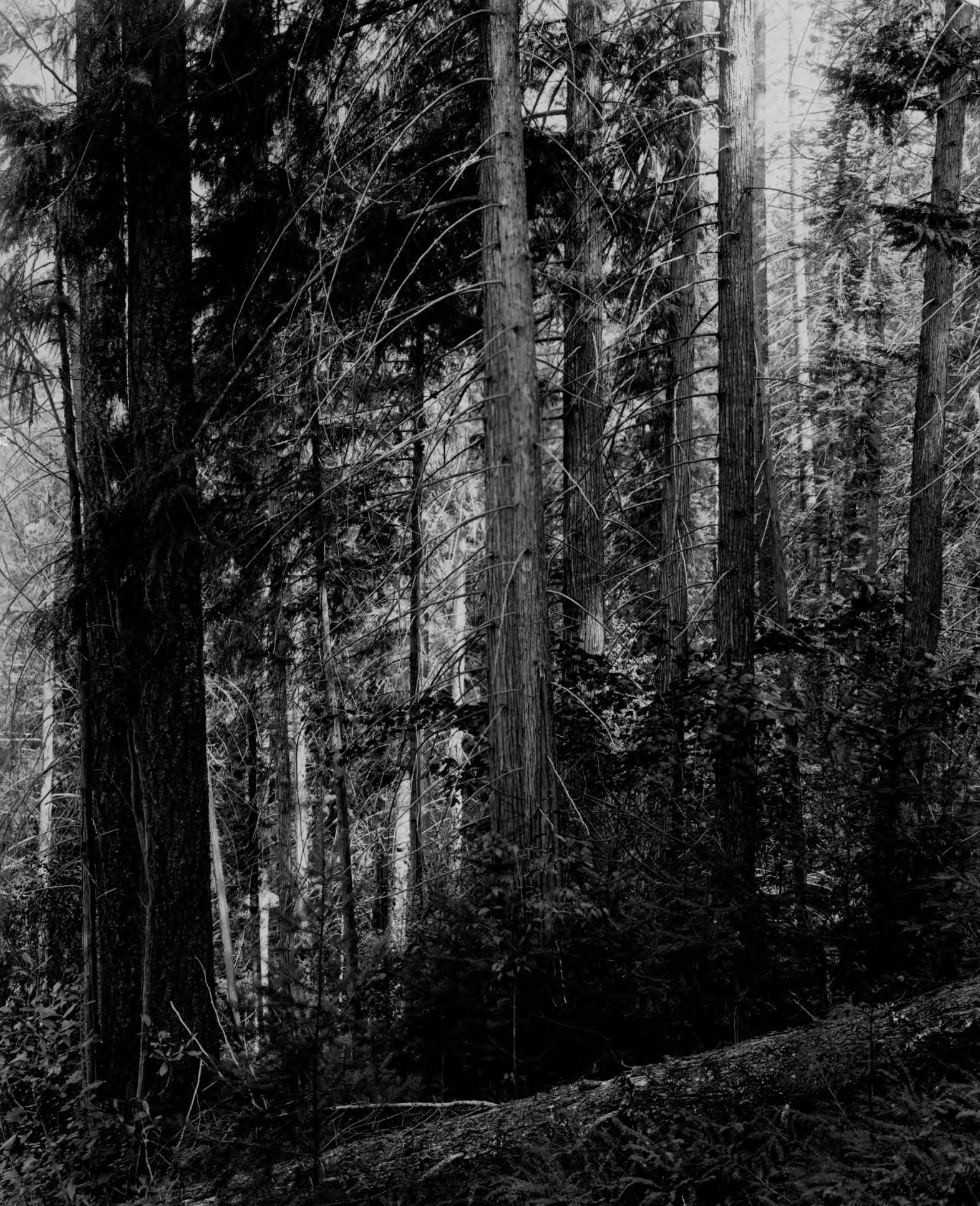 item thumbnail for Cedar and red fir on west slope near mouth of Lochsa River