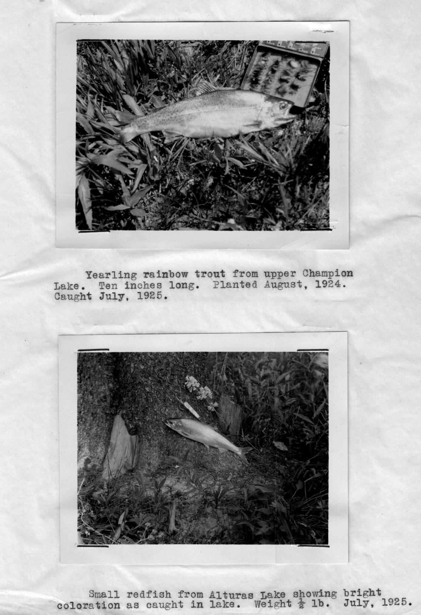 item thumbnail for Yearling rainbow trout, Champion Lake