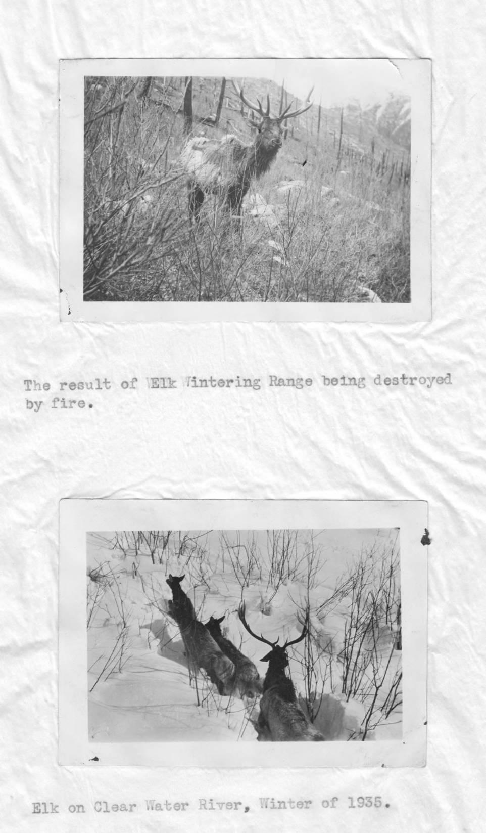 item thumbnail for Starving elk