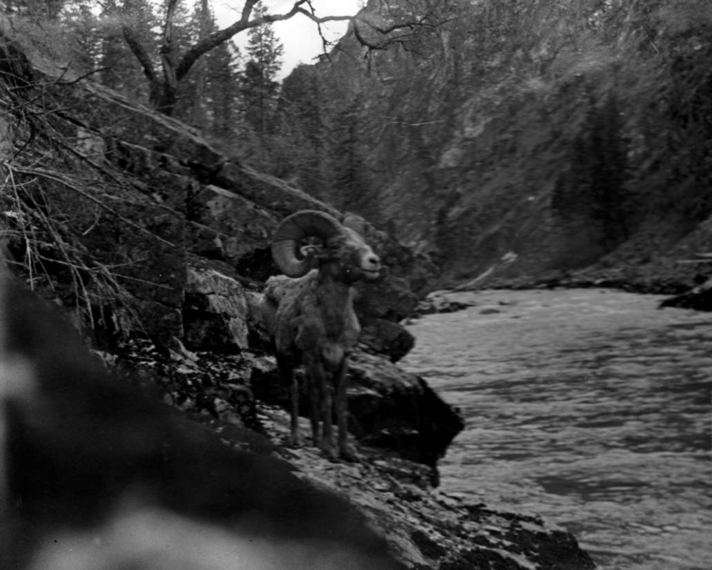 item thumbnail for Big Horn sheep on Middle Fork of the Salmon River 1