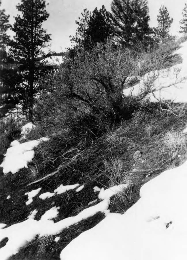 item thumbnail for Chamberlin Basin, flora in deer and elk range