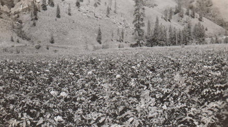 item thumbnail for Potato field, near Orofino