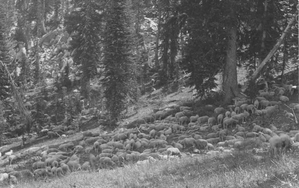item thumbnail for Sheep grazing, Bear Basin near head waters of Salmon River, Idaho County