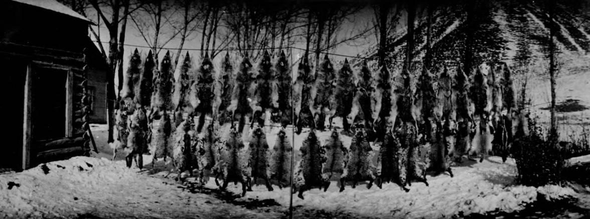 item thumbnail for Strings of coyote skins outside log cabin