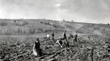 item thumbnail for Harvesting potatoes in Teton County.