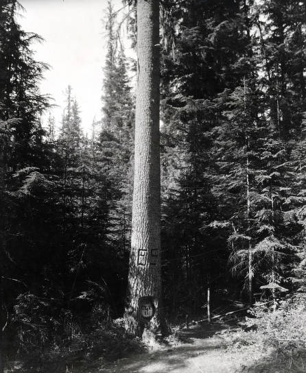 item thumbnail for Mullan Tree in Fourth of July Canyon. St. Joe Forest. Idaho.