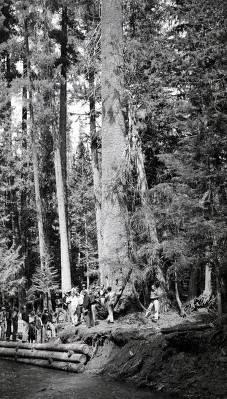 item thumbnail for Big white pine. St. Joe Forest. Idaho.