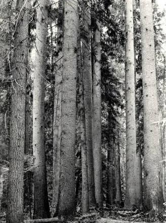 item thumbnail for White Pines. St. Joe Forest. Idaho