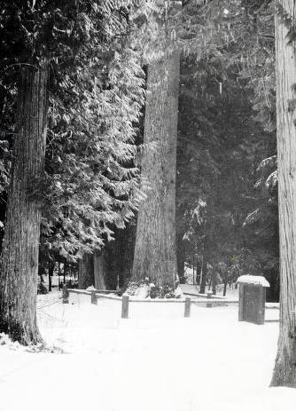 item thumbnail for Giant White Pine tree 16 miles north of Potlatch on alternate U.S. 95 en route to St. Marie's.