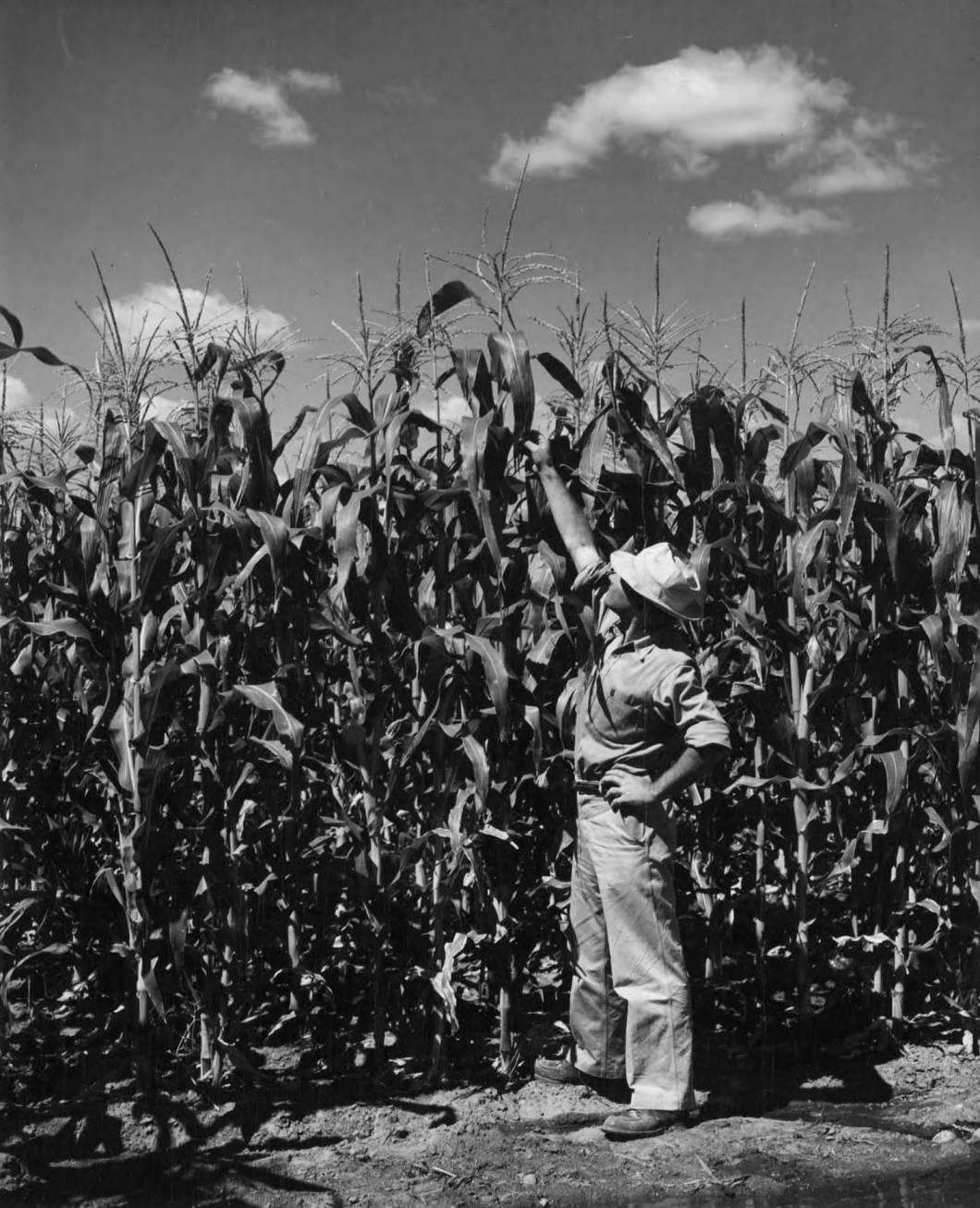 item thumbnail for Corn Crop (Farm development)