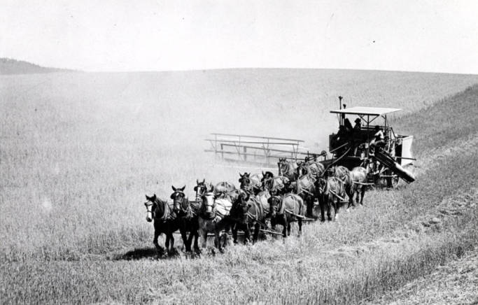 item thumbnail for Naylor combine outfit harvesting wheat, circa 1930