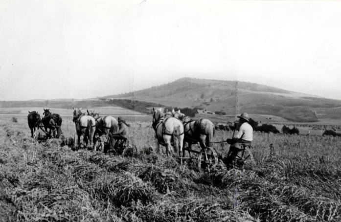 item thumbnail for Swathing peas on the Pete Olson farm [01]
