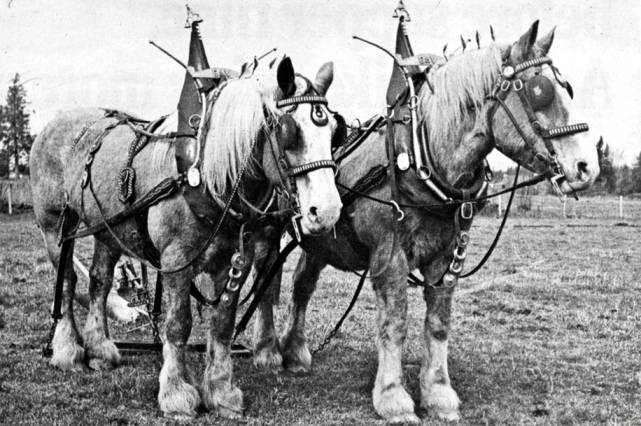 item thumbnail for Team of horses in fancy harness
