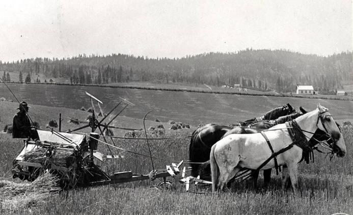 item thumbnail for John F. McBride cutting grain with a Deering binder