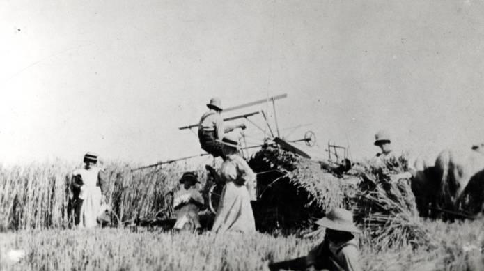 item thumbnail for Mortensen cutting Red Russian wheat near Blaine