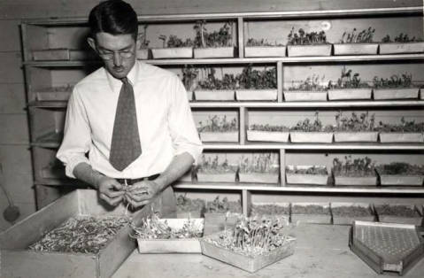 item thumbnail for Washburn-Wilson Seed Company's George Woodberry checking germination of seed peas