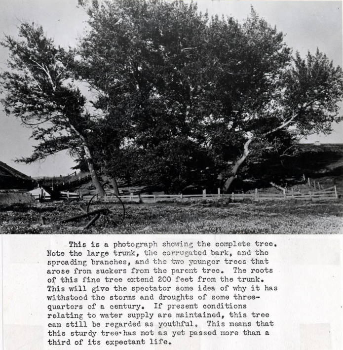 item thumbnail for Silver poplar tree planted by George M. Tomer May 6, 1871