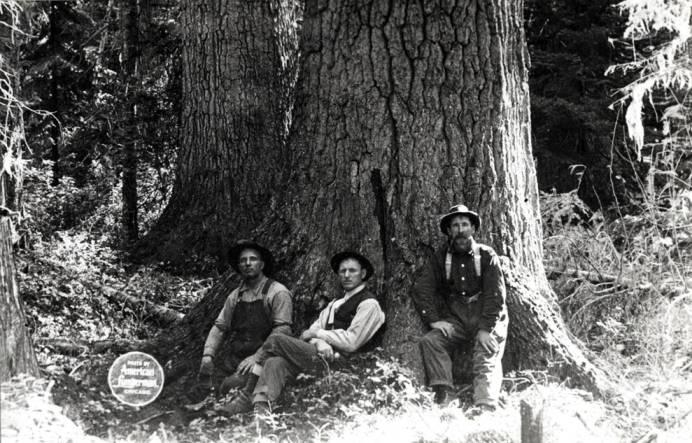 item thumbnail for White Pine trees [02]