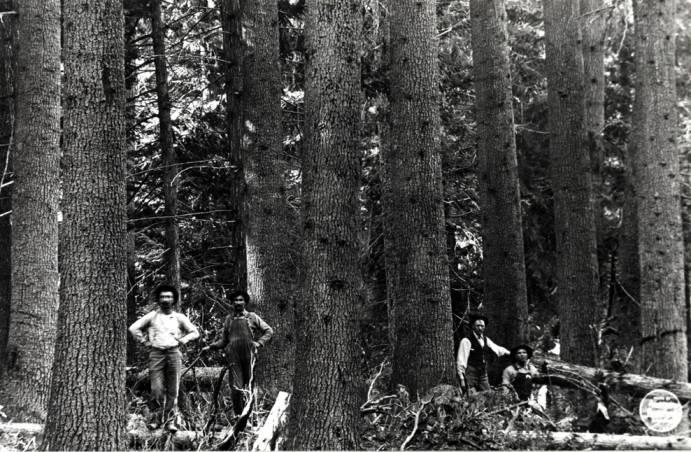 item thumbnail for White Pine trees [01]