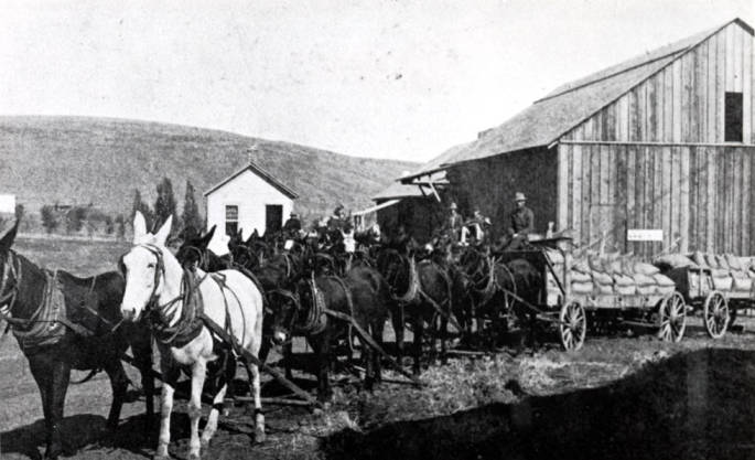 item thumbnail for Eight mule team pulling wagons of grain