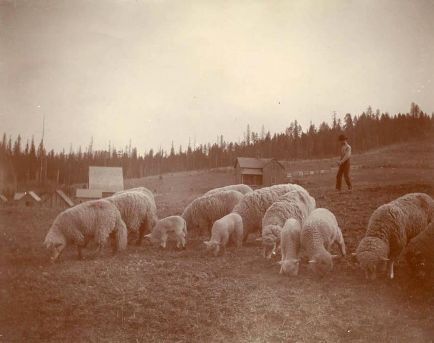 item thumbnail for Willie Bysegger herding sheep