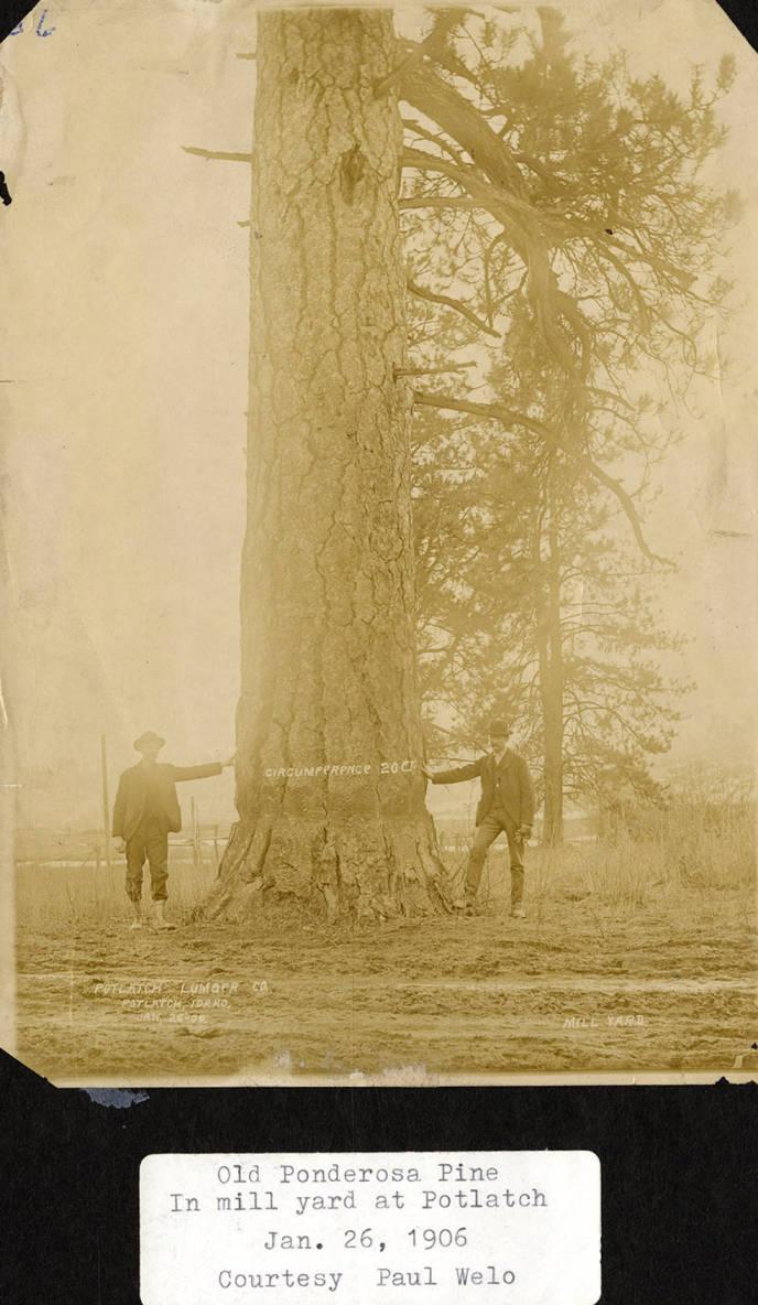 item thumbnail for Old Ponderosa Pine
