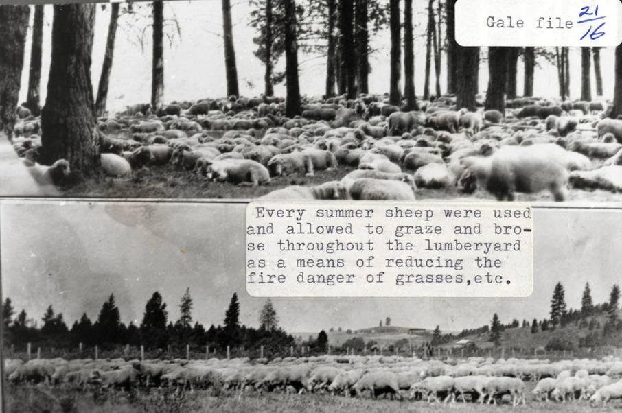 item thumbnail for Sheep