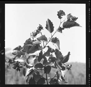 item thumbnail for Unidentified plant, 1959