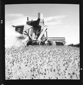 item thumbnail for Wilbur Westberg outfit harvesting on 'The Riggs Place' (Idaho),1959 [1]