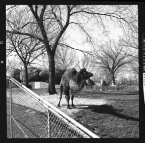 item thumbnail for Camel, 1961