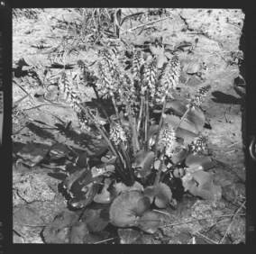 item thumbnail for Unidentified flower, 1961 [2]