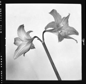 item thumbnail for Houseplant (Amarilis?) [2]
