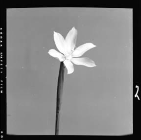 item thumbnail for Grass Widow, 1952 [4]