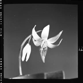 item thumbnail for Dog-Tooth Violet, 1952 [3]