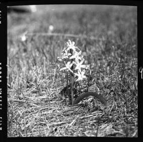 item thumbnail for Hyacinth, 1952