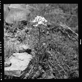 item thumbnail for Western Wallflower, 1952