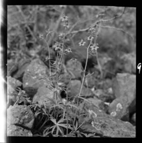 item thumbnail for Low Larkspur, 1952 [1]