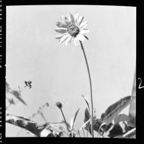 item thumbnail for Sunflower, 1952