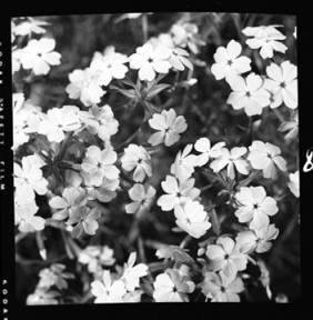item thumbnail for Pink Phlox, 1952 [2]