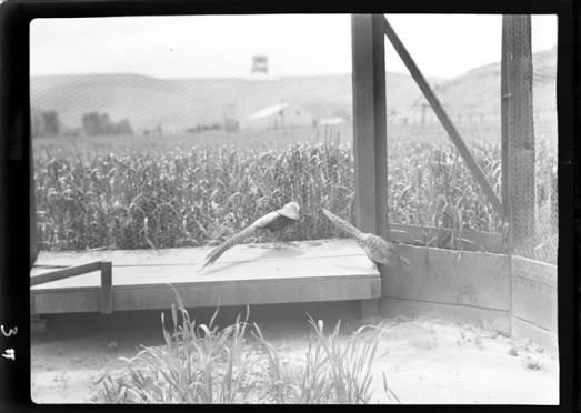 item thumbnail for Game farm, 1938