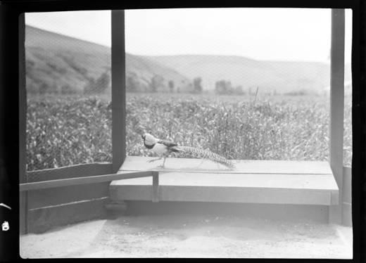 item thumbnail for Bird at game farm, 1938