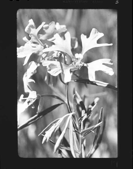 item thumbnail for Unidentified wildflower [3]