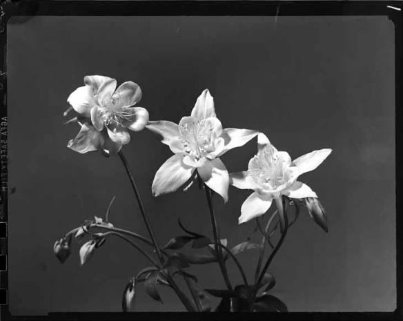item thumbnail for Columbine flower [1]