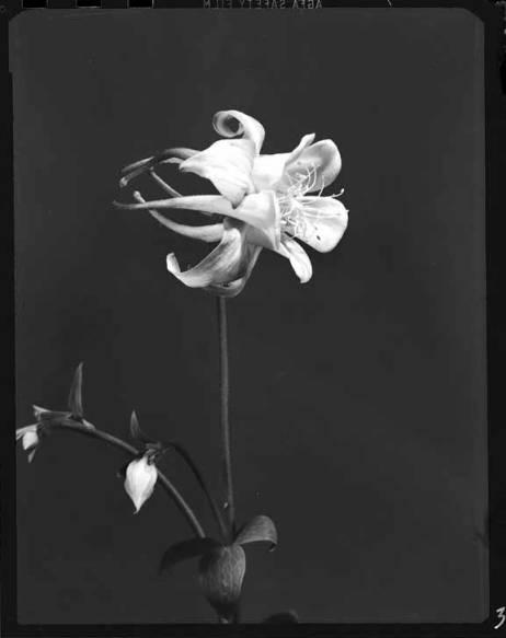 item thumbnail for Columbine flower [3]