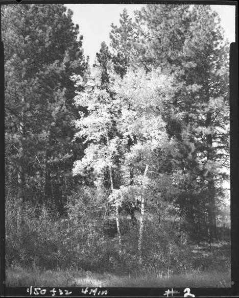 item thumbnail for Aspen trees in the fall [1]