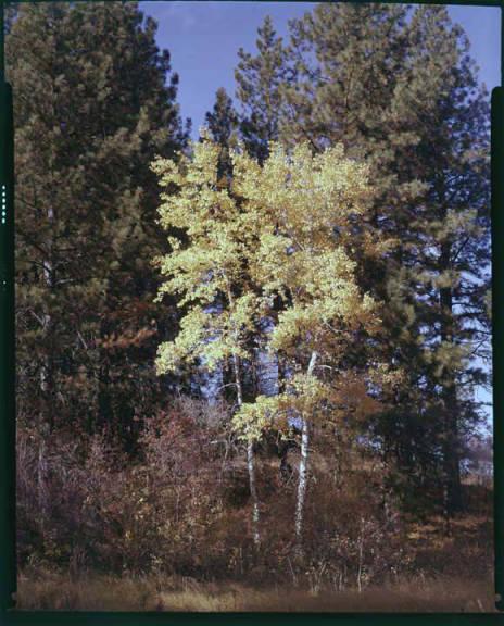 item thumbnail for Aspen trees in the fall [3]