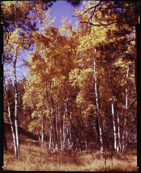 item thumbnail for Aspen trees in the fall [4]